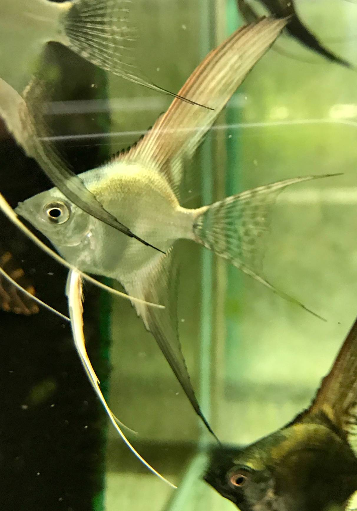 "Pterophyllum scalare ""Silver Pinoy Veiltail"""