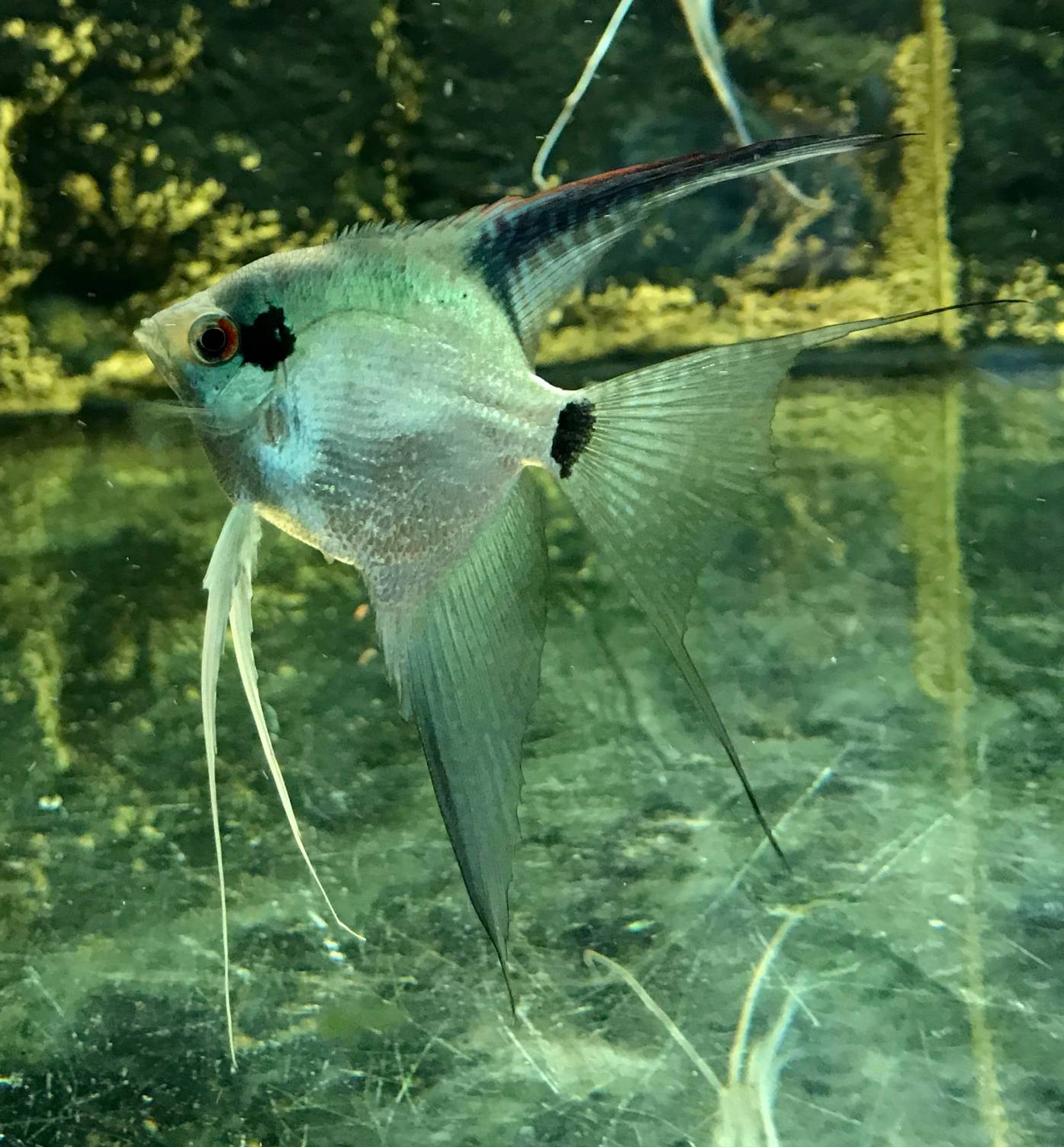 "Pterophyllum scalare ""Blue Pinoy Veiltail"""